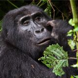 Highlights of Uganda & Rwanda (15 days)
