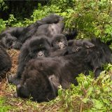 Gorillas in the Mist (3 days)